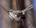 Northern Mockingbird on a thin branch