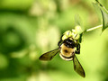 Carpenter Bee - Xylocopa virginica - on bud