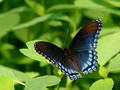 Red-spotted Purple on foliage