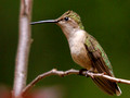Female Ruby-Throated Hummingbird - perched 2 - Green Mountain NC