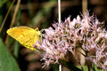 Yellow butterfly on Swamp Milkweed