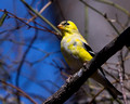 Male American Goldfinch - changing to breeding colors
