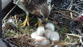 Red-tailed Hawk chick 10 - Cornell: http://www.livestream.com/cornellhawks