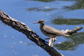 Spotted Sandpiper - breeding plumage - Links Pond