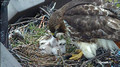 Red-tailed Hawk chick 9 - Cornell: http://www.livestream.com/cornellhawks