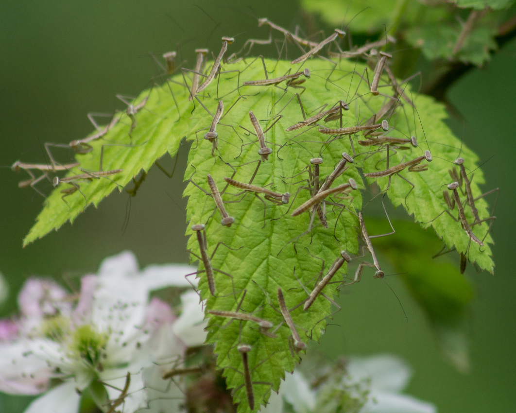 Praying Mantis ootheca and nymphs: Nature and Wildlife Photography ...