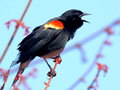 Male Red-winged Blackbird sounding off