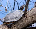 A large Red-eared Slider - Links Pond