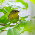 Common Yellowthroat - female - front view