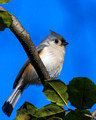 Tufted Titmouse in Holly tree