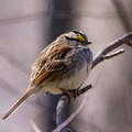 White-throated Sparrow on a curved branch