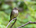 Eastern Phoebe on thin branch -7th fairway