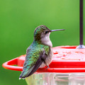 Our resident female Ruby-throated Hummingbird is back