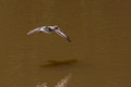 Spotted Sandpiper over a muddy Lake Audubon