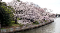 Ride to the Cherry Blossoms - March 2016
