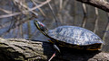 Large Red-eared Terrapin - Links Pond