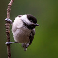 Carolina Chickadee vertical