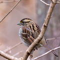White-throated Sparrow behind a branch