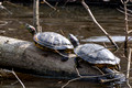 A pair of Red-eared Sliders - Links Pond